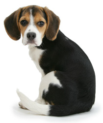 Find out if the Beagle is the breed for you