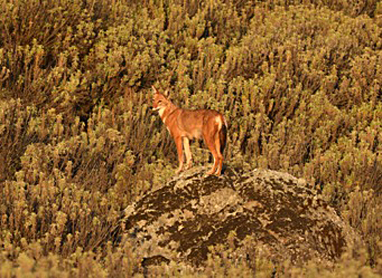 Ethiopian wolves numbers on the rise