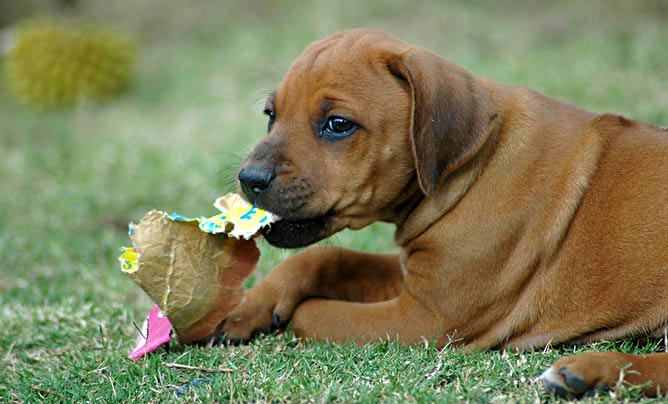 puppy chewing