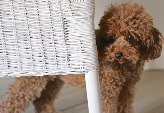Why does my dog hate chair legs?
