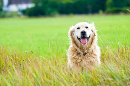 How important is it to feed a dog a food containing taurine?