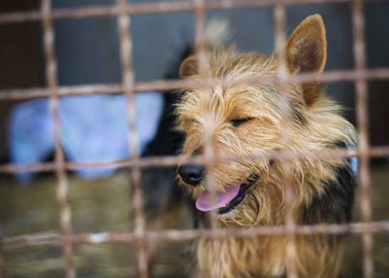 What are the risks of kennel cough?