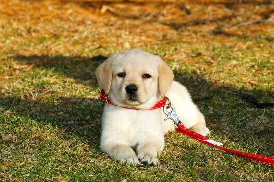 Golden Retriever Refuses To Come Home When Out For Walk