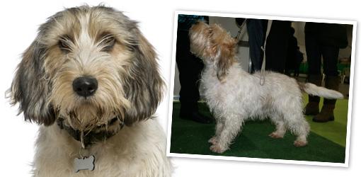 Your dog basset griffon vendeen petit dog breed profile dog breeds - Petit basset hound angers ...