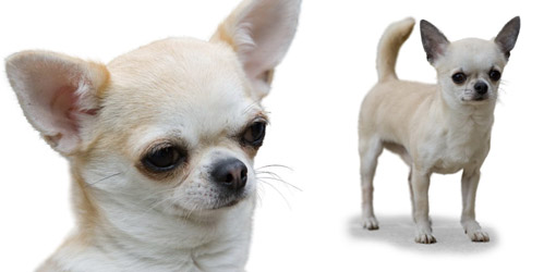 Dog Newsletter: Chihuahua (short haired)