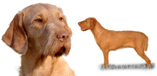 Your Dog | Hungarian Wire-Haired Vizsla Dog Breed Profile | Dog Breeds
