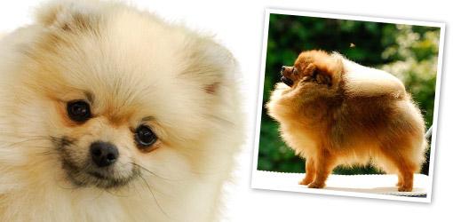 your dog pomeranian dog breed profile dog breeds