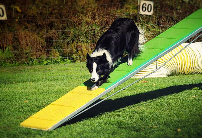 Dog performing agility