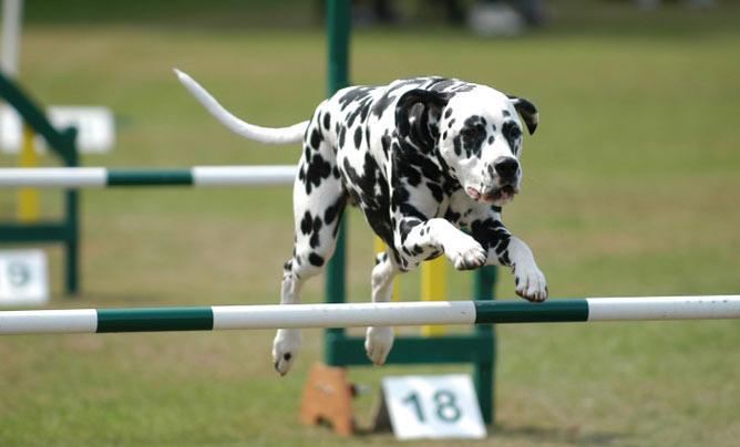 dog jump agility