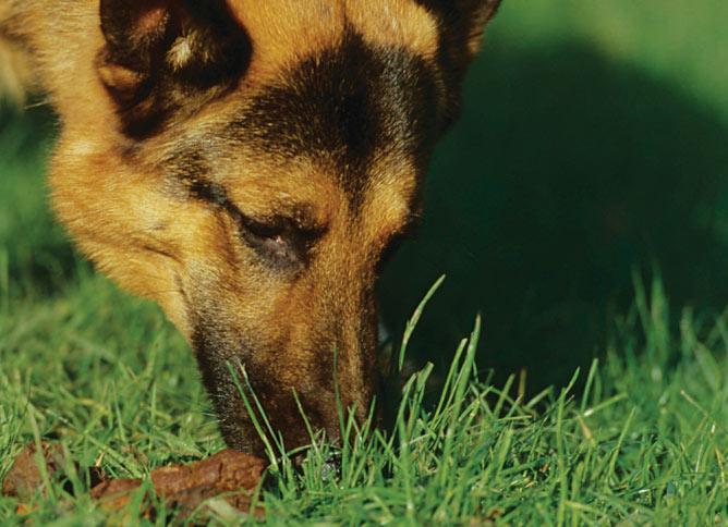 Dog eating poo