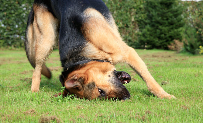 how to stop dog rolling in fox poo