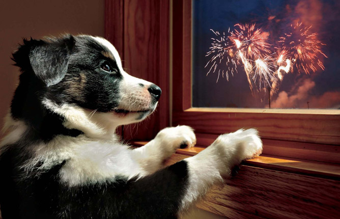 Dog looking at fireworks