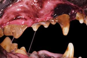 Dental disease in dogs