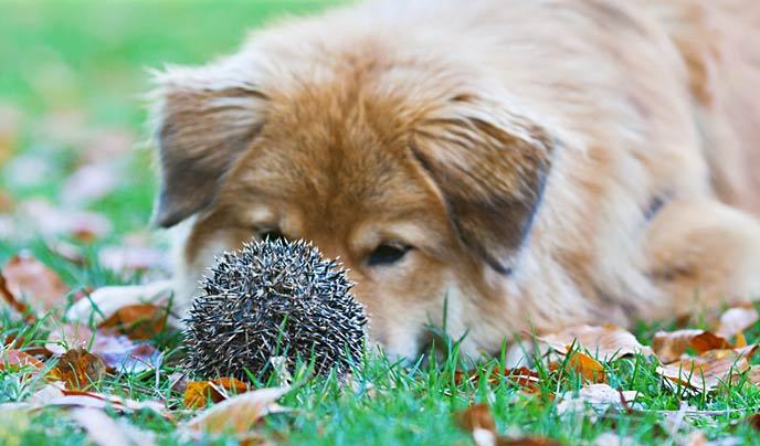 dog with hedgehog