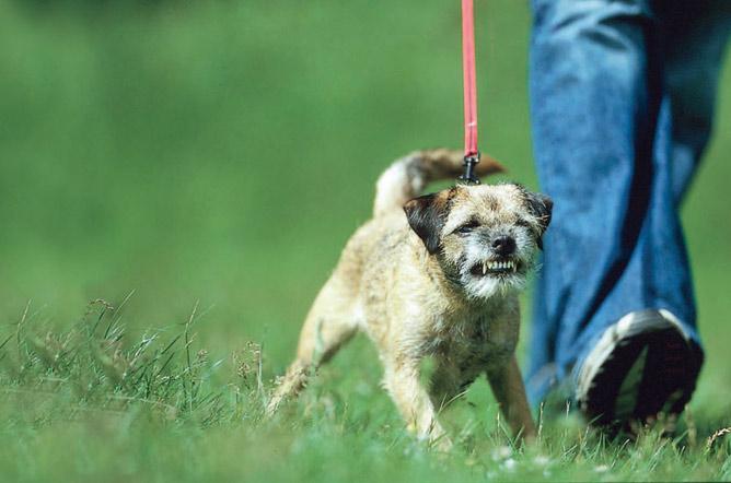 Aggressive dog on a lead